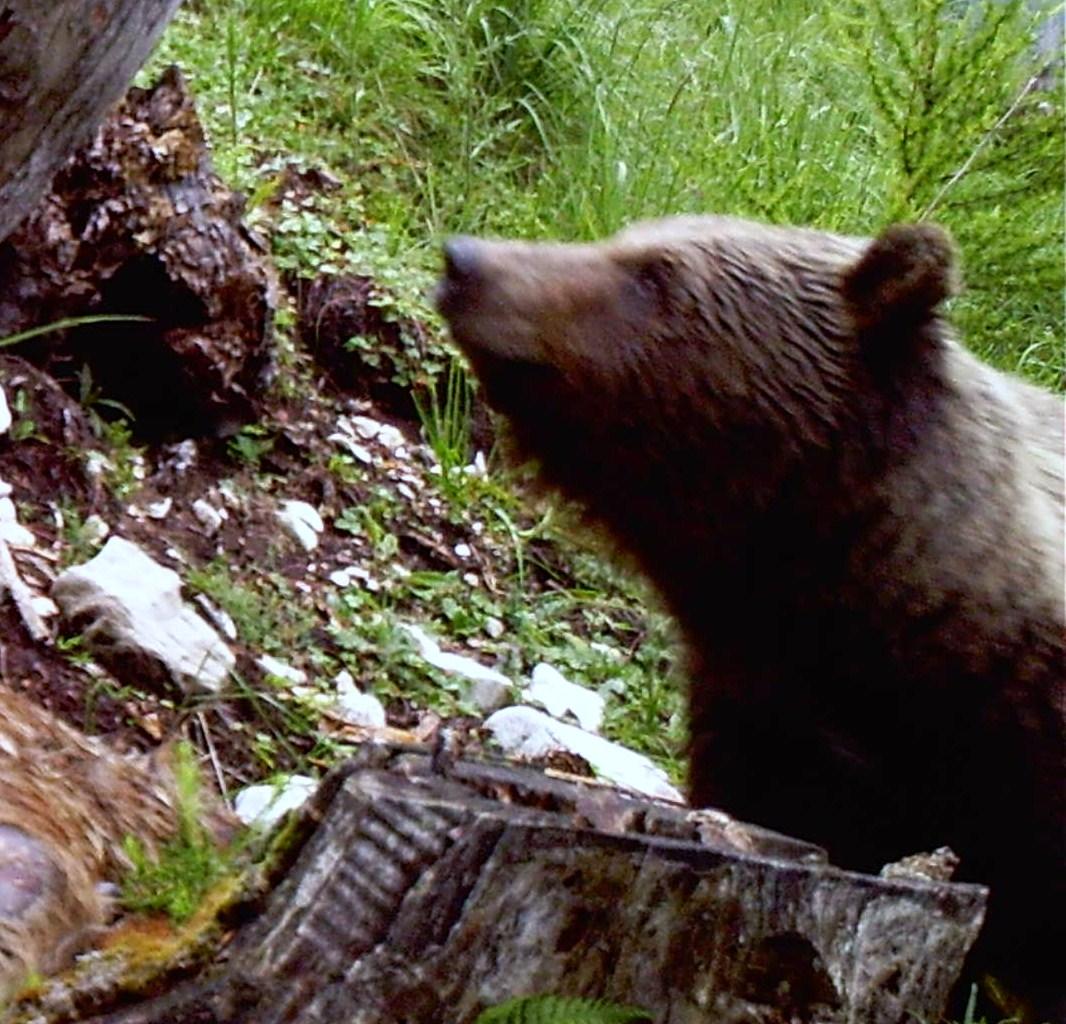 Ricompare l'orso nel bellunese: ecco la foto.