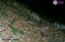 Il gatto selvatico del Parco Nazionale Dolomiti Bellunesi