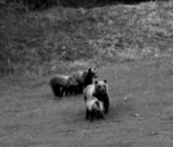 Famiglia di orsi ripresi a Castellavazzo