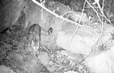 Esemplare di gatto selvatico fotografato in Val Cordevole.